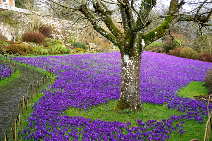 By glen bowman magnificent crocus lawn wallington house and gardens northumberland for Bairs lawn and garden