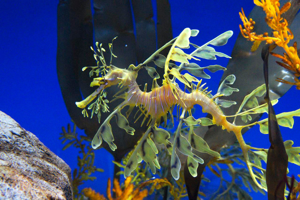 weedy sea dragon courtship vs dating