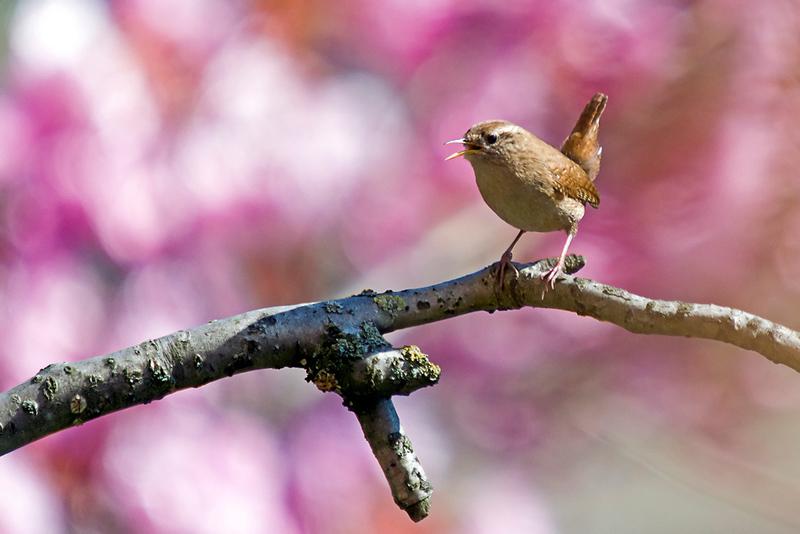 "An amazing tan eurasian wren bird standing on a cherry tree branch with  pink blossoms in. "" 590d4bd865d39"