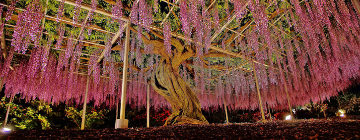 Beautiful Specimen Trees To Visit Now BeautifulNow - Beautiful wisteria plant japan 144 years old