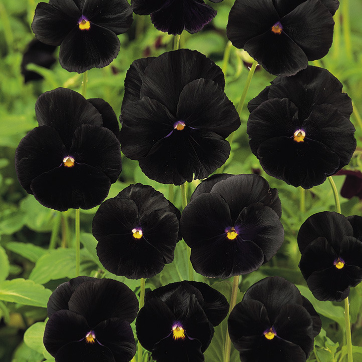 10 Pansy Black Beauty