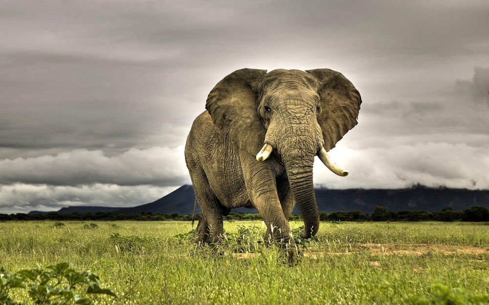animal studies african elephants The animal studies courses in the major emphasize critical and creative thinking in the areas of: animal behavior, the animal-human bond, animal-human interactions, animals in service.
