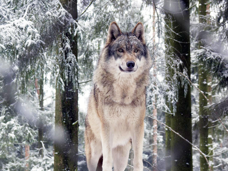 Wolf Germany a beautiful grey comeback beautifulnow