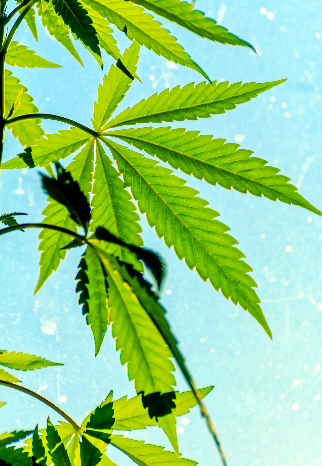 Beautiful Leaves with Beautiful Health Benefits Now Legal   Cannabis    BeautifulNow
